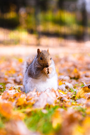 Squirell eating nuts in autumn foliage closeup Stock Photo