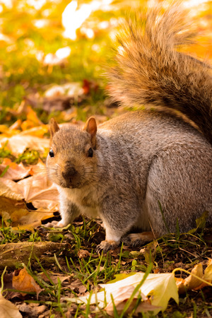 Squirell in autumn colors park waiting for nuts closeup