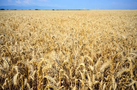Golden wheat field going to horizon at summer in Bulgaria,Europe Stock Photo