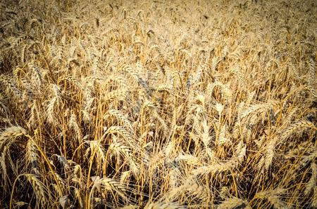 Golden wheat field at summer closeup Stock Photo