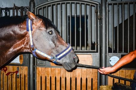Horse follow a hoorseman at stable closeup