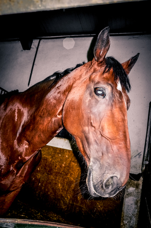 Curious horse at stable closeup
