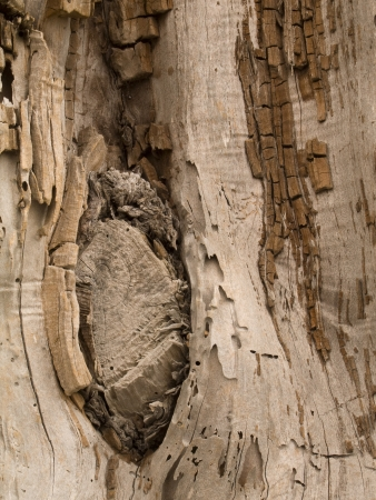 Close-up vertical textured pattern of tree bark with knots photo
