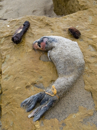 half moon tail: Dead Baby Seal Pup near Half Moon Bay, California with plastic bag wrapped around its flipper tail