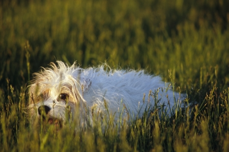 Photo taken in Wisconsin of Rough coat or Wire Haired Jack Russell Terrier that was relaxing in a field of grass