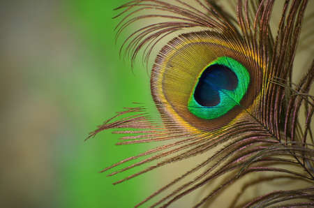 pelage: Detail of eye of peacocks feather with blurry background.