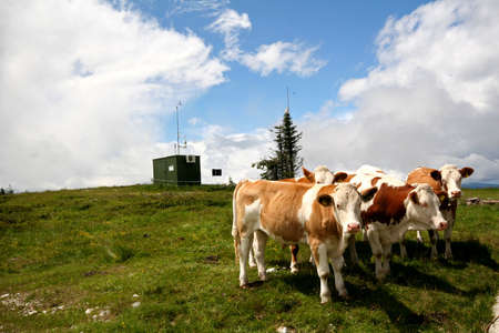 Cows on mountaintop Stock Photo - 6444979