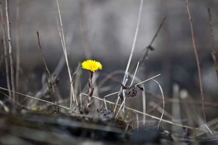 industrial wasteland: Single yellow dandelion flower in a wasteland standing out