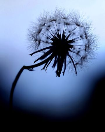 Silhouette Dandelion with blue background.