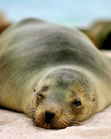 Galapagos Sea Lion taking a nap.