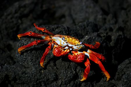 Galapagos Red Crab on volcanic rock.