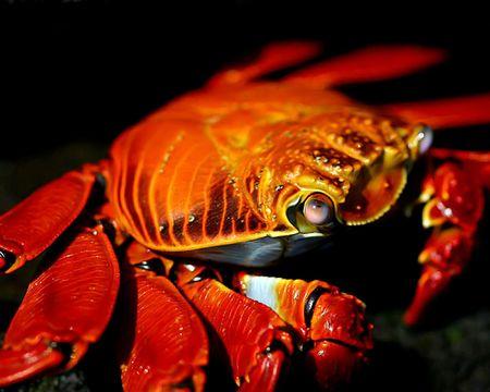 Galapagos red crab.