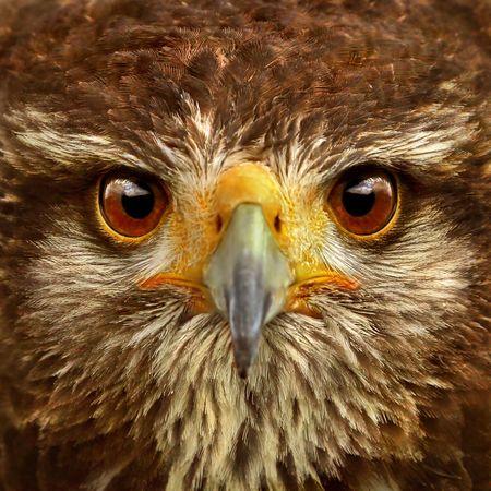 Close-up of Brown Hawk