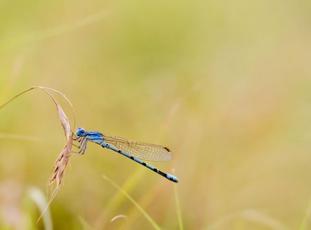 Blue damselfly with yellow background.