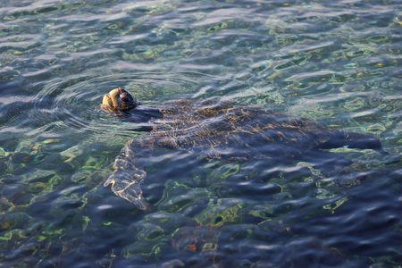 Galapagos Turtle swimming. Stock Photo