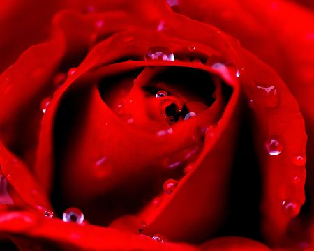 Rose with morning dew.