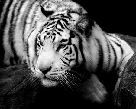 Siberian Tiger on a ledge. Stock Photo