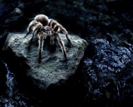 tarantula: Tarantula near water.