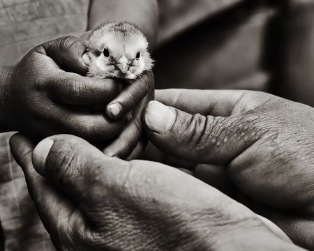 Father holding a young boys hand, holding a baby chick.