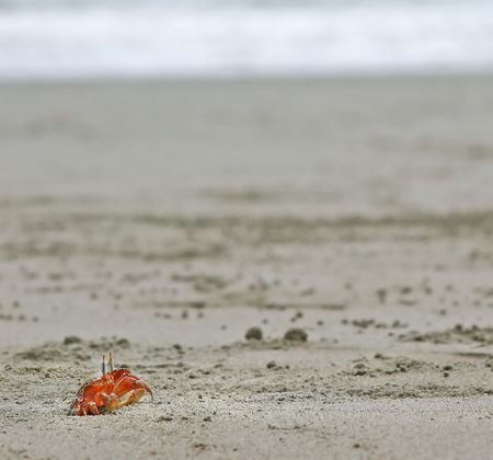 Red crab on a sandy beach.