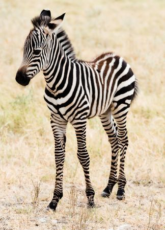 Adorable  Zebra standing. Stock Photo - 3105777