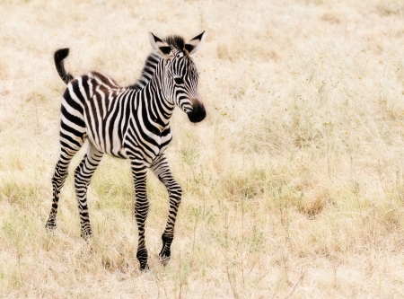 An adorable  Zebra walking. Stock Photo - 3105779