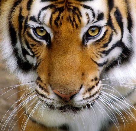 fierce: Close-up of a Tigers face. Stock Photo