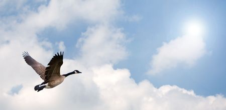 One Goose flying, with a bright background.