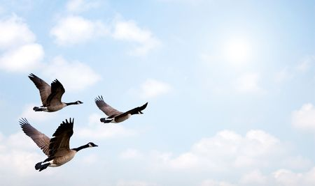 Flock of Geese flying, with a bright background. photo