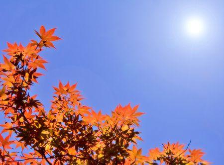 Red Japanese Maple leaves backlit.