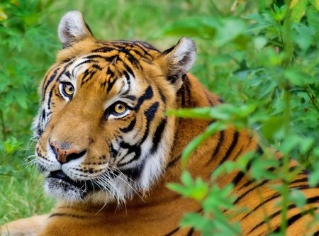 Portrait of a Tiger laying down. Stock Photo
