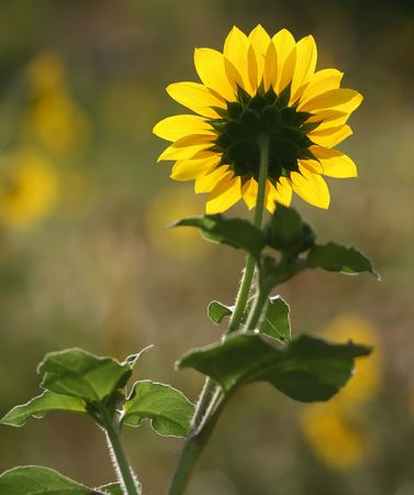Back of a Sunflower. photo