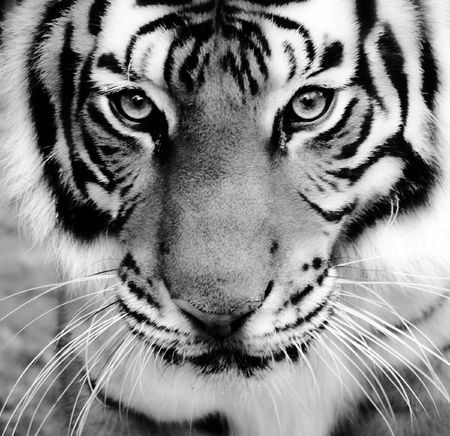 siberian tiger: Close-up of a Tigers face. Stock Photo