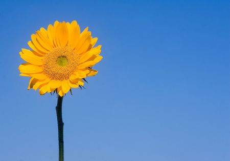 Sunflower with bright blue background.