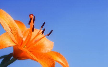 Orange Lily on blue sky. Stock Photo