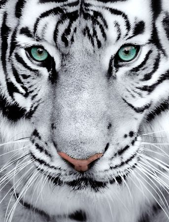 siberian tiger: Close-up of a White Tigers face