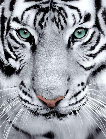 tigre blanc: Gros plan d'un visage tigres blancs