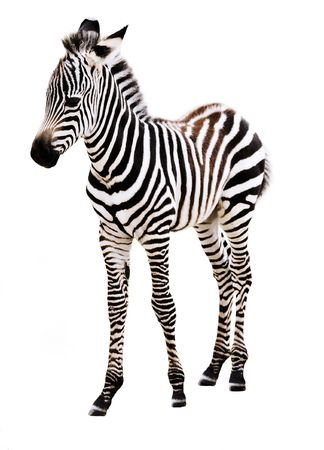 Adorable Zebra standing, on white background.