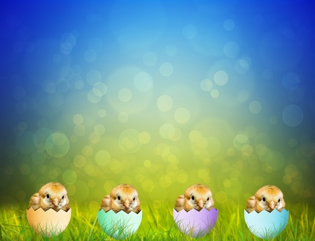 Cute Easter baby Chicks
