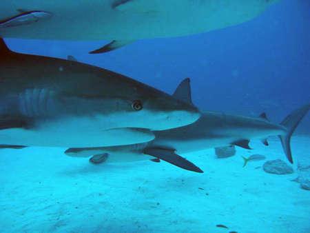 Shark Reklamní fotografie
