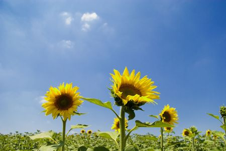 Some Sunflowers in Chianti, Tuscany