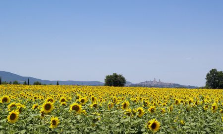 Sunflowers field. In  the backgroun the beatiful town of san Gimignano in Chianti, tuscany