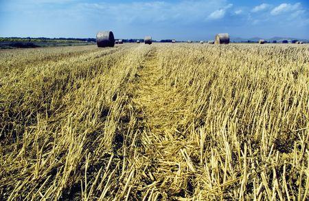 hayroll: golden hayfield in a bright blue sky in chianti, tuscany
