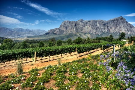 View across vineyards of the Stellenbosch district with the Simonsberg mountain in the background , Western Cape Province, South Africa. Stock Photo