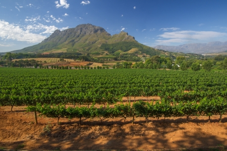 View across vineyards of the Stellenbosch district with the Simonsberg mountain in the background , Western Cape Province, South Africa. photo