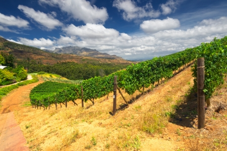 the mountain range: Vineyards in Stellenbosch, Western Cape, South Africa. Simonsberg mountain range as a backdrop.