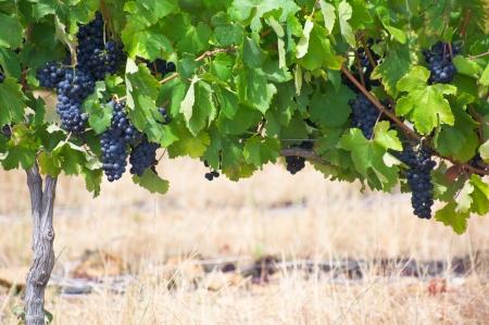 Stellenbosch vineyards, South Africa Stock Photo