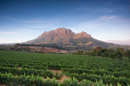 Vineyards in Stellenbosch, Western Cape, South Africa. Simonsberg mountain range as a backdrop. Stock Photo - 19152594