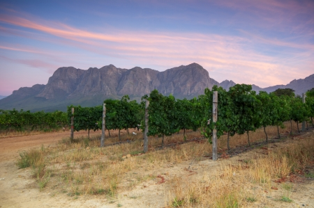 Sunset over a vineyard with Table Mountain in the background, Stellenbosch, Cape Winelands, Western Cape, South Africa photo