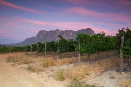 Sunset over a vineyard with Table Mountain in the background, Stellenbosch, Cape Winelands, Western Cape, South Africa Stock Photo